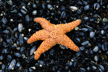 Orange starfish on a bed of mussels