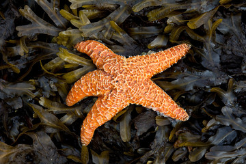 Orange starfish on a bed of yellow kelp and seaweed
