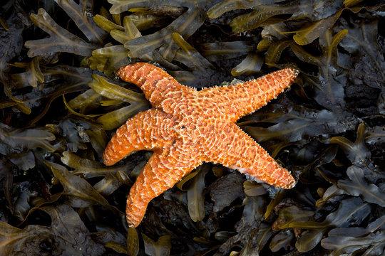Orange starfish on a bed of yellow kelp and seaweed