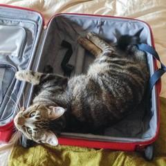 Hauskatze in einem Koffer