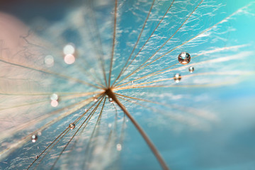 The droplet of water on the seed of dandelion . Dandelion on a turquoise background. Selective focus