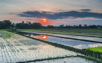 Golden Sunset Rice Farm