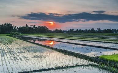 Golden Sunset Rice Farm