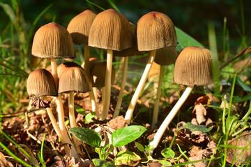coprinellus micaceus mushroom