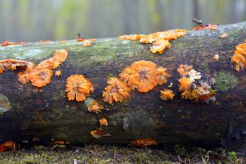 phlebia radiata fungus