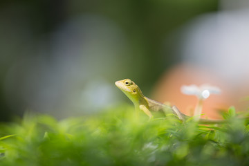 Small Chameleon on green tree