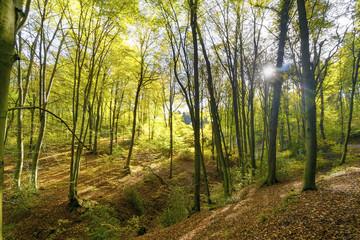Leuchtender Buchenwald am Mirbesbach im Siebengebirge