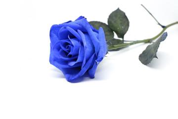 Fiore di una rosa blu isolata su sfondo bianco