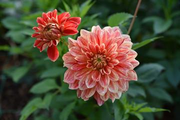 Dahlia rose et rouge en été au jardin
