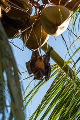 Fruit bat hanging upside down on a palm tree in Maratua Island, Kalimantan, Borneo, Indonesia