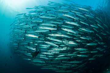 school of blackfin barracudas in Big Fish Country, Maratua, Kalimantan, Borneo, Indonesia