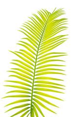 feuille de palmier sagoutier sur fond blanc
