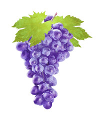 Watercolor grape with leafs on white