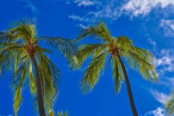 Tall coconut palm trees on Waikiki Beach