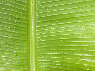 Banana leaf wet the rain drop close up.