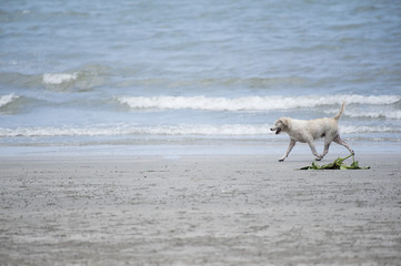 Dog running in the beach
