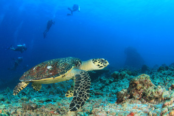 Hawksbill Sea Turtle and scuba divers