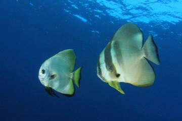 Longfin Spadefish. Underwater fish batfish