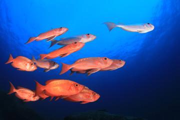 Fish school in ocean. Snapper fish on coral reef