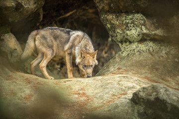 young wolf into forest