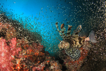 Lionfish fish on underwater coral reef