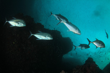 Trevally fish in ocean