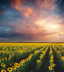 Wall Mural - Field of sunflowers.