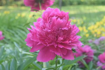 Beautiful Abundace of Pink Peonies in Nature