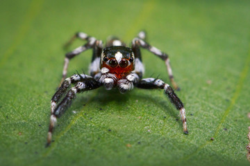 Image of Jumping spiders(Plexippus paykulli.,male) on green leaves. Insect. Animal