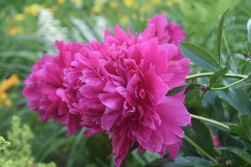 Gorgeous Pink Peony Blossoming in a Garden