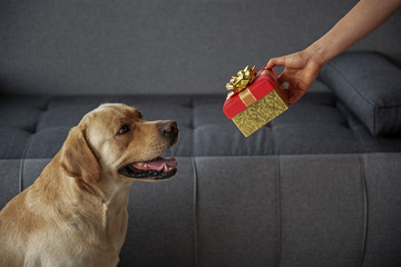 Cheerful labrador looking at female gift