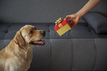 Glad dog watching at woman present