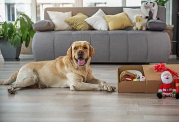 Outgoing labrador situating near presents