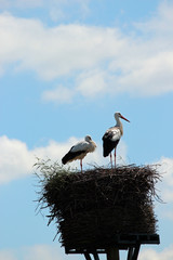 Storks on a breeding nest in the Netherlands