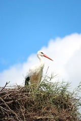 stork in a breeding nest with blue sky and white clouds background