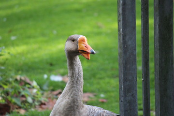 Grey  goose in public park