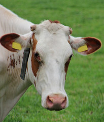 Head of cow close up from Dutch meadow