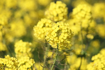 rapeseed flower in close up