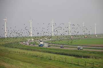 Starlings fly away along the windmills and highway in Flevoland, The Netherlands