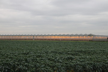 field with brussels sprouts and greenhouse with orange lights on background in Zevenhuizen