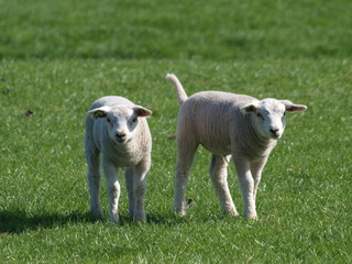 Lambs on meadow in Zevenhuizen, Netherlands