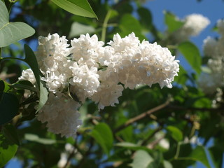 White lilac blossom in springtime