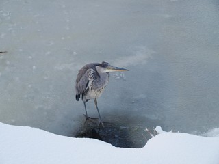 Heron on the ice in Nieuwerkerk aan den IJssel