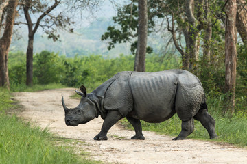 One-horned Rhinoceros, Kaziranga National Park, Assam, India