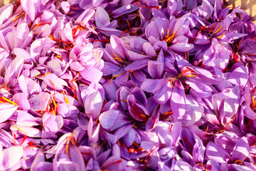 Close up of saffron flowers background