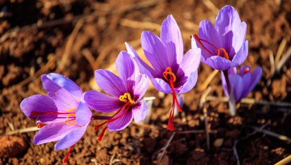 Close up of saffron flowers in a field at autumn