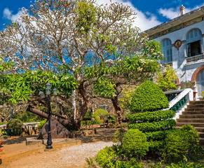 Frangipani tree in bloom at the White Palace in Vung Tau, Vietnam