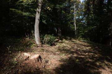 Stump of a newly sawed tree with illuminating sunlight