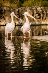 Les Pélicans Blancs