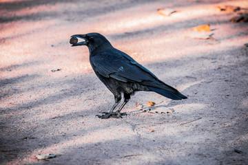 Le corbeau emportant une noix